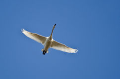Lone Tundra Swan Flying in a Blue Sky Royalty Free Stock Photography