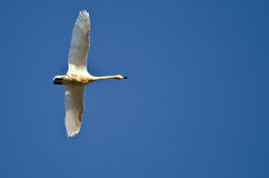 Lone Tundra Swan Flying in a Blue Sky Stock Photo