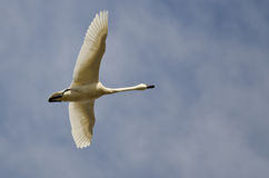 Lone Tundra Swan Flying in a Cloudy Sky Stock Photo