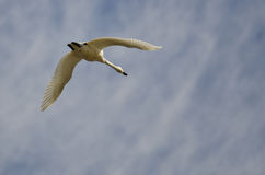 Lone Tundra Swan Flying in a Cloudy Sky Stock Photos