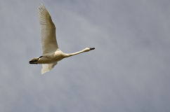 Lone Tundra Swan Flying in a Cloudy Sky Stock Images