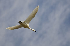 Lone Tundra Swan Flying in a Cloudy Sky Royalty Free Stock Photos