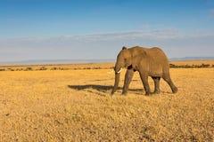 Lone Tusker Walking Across Golden Savanna. A single male African Bush, or Savanna, Elephant, walking across a vast expanse of golden-dry savanna in Olare Orok Royalty Free Stock Photos