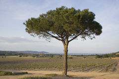 Lone umbrella pine in a vineyard Stock Photos