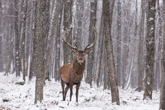 Lone wapiti in a forest environment. A Lone wapiti in a forest environment Royalty Free Stock Image