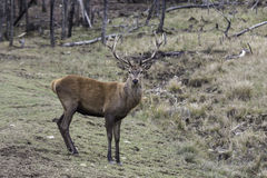 Lone Wapiti in a forest with a field Stock Images