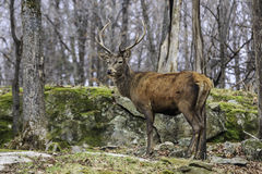Lone Wapiti in a forest with a field Royalty Free Stock Photos