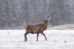 Lone wapiti in a snow storm Stock Photos