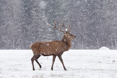 Lone wapiti in a snow storm Stock Photography