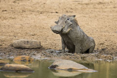Lone warthog playing in mud to cool off Stock Image