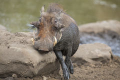 Lone warthog playing in mud to cool off Royalty Free Stock Photography
