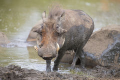 Lone warthog playing in mud to cool off. Lone warthog playing in wet mud to cool off Royalty Free Stock Images