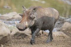 Lone warthog playing in mud to cool off Royalty Free Stock Image