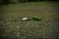 Free Lone Water Lily Stock Photo - 76411160