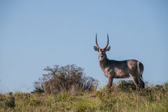 Lone waterbuck standing on ridge Royalty Free Stock Photos