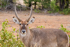 Lone Waterbuck royalty free stock images