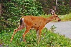 Lone western mule deer doe Stock Photography