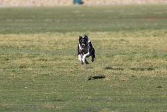 Lone Whippet running across the grass Stock Image