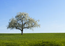 Lone white blooming cherry tree Royalty Free Stock Photos