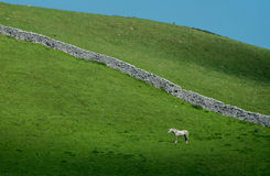 Lone White Horse Dry Stone Wall. White horse stands alone on Yorkshire moor with dry stone wall in background Stock Photos