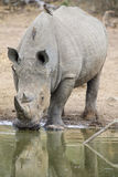 Lone white rhino bull standing at edge of a lake to drink Royalty Free Stock Images