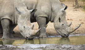 Lone white rhino bull standing at edge of a lake to drink Royalty Free Stock Photos