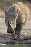 Lone white rhino bull standing at edge of a lake to drink Stock Image