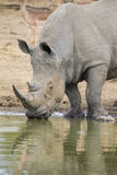 Lone white rhino bull standing at edge of a lake to drink Stock Photo