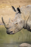 Lone white rhino bull standing at edge of a lake to drink Stock Images