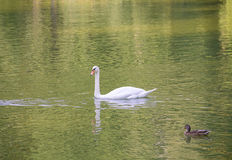 Lone white swan floats craves wary brown duck pond water. Autumn Stock Photo