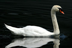 Lone white swan reflected onto lake. Lone white swan reflected onto the lake royalty free stock photo