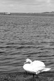 Lone white swan in sea kelp Stock Image