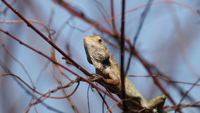 A Lone Wild Chameleon. A lonely wild chameleon perching on a dead tree branch stock video