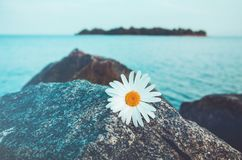 Lone wild chamomile flowers on grey stone, blue water and island background. Daisies  the rocky beach. Solitariness, loneliness co Stock Photography