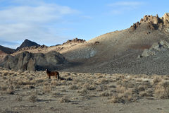 A lone Wild Mustang in the Painted Hills. Wild Mustang in the Painted Hills near Reno, Nevada Stock Photo