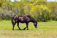 Lone Wild Spanish Mustang in Meadow in Corolla, NC Stock Images