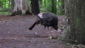 A lone, wild turkey in a forest stock footage