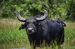 Lone  wild water buffalo Royalty Free Stock Images