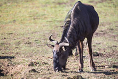 Lone wildebeest bull standing and eat green grass Royalty Free Stock Photography