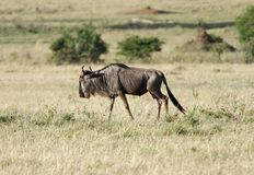 A lone wildebeest in the grassland Stock Photos