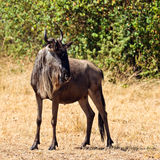A lone wildebeest is in the savannah Stock Images