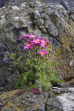 Lone Wildflower. On rocky outcrop, The Spit Beach, Dunedin, New Zealand Royalty Free Stock Images