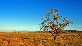 Lone Windblown Tree In The Antelope Valley In The High Desert Of Southern California USA Royalty Free Stock Image