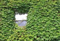 Lone window covered in ivy. Big green ivy leaves growing wild, covering an old wall and a glass window peeking through Stock Photo