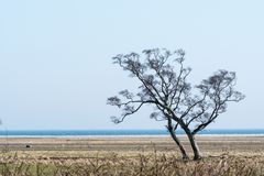 Windswept tree by the coast. Lone windswept tree by the coast at the swedish island Oland in the Baltic Sea stock photos