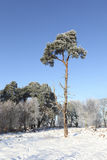 Lone winter pine tree Stock Image