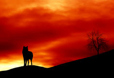 Lone wolf. Standing on the crest of a hill with a red sunset sky in background Royalty Free Stock Photography