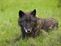 Lone wolf Royalty Free Stock Photos