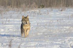 lone wolf fotografering för bildbyråer