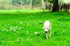 Lone Wolf in Forest Stock Image